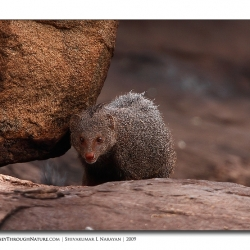 mongoose_stare_01