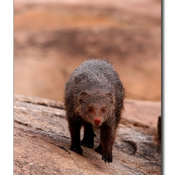 mongoose_stare_02