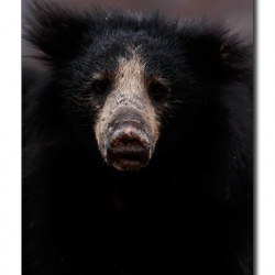 sloth_bear_face