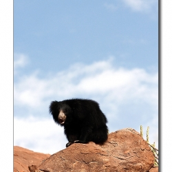 sloth_bear_on_rocks
