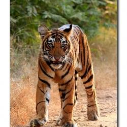 tiger_cub_snarl