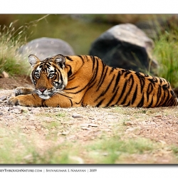 tiger_pensive_mood