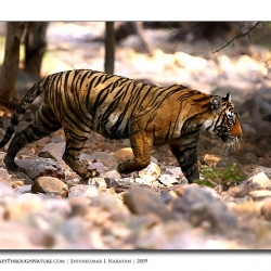 tiger_river_bed