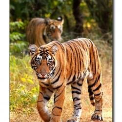 tiger_stare