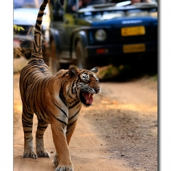 tiger_yawn