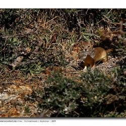 weasel_kill_ladakh