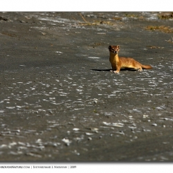 weasel_ladakh