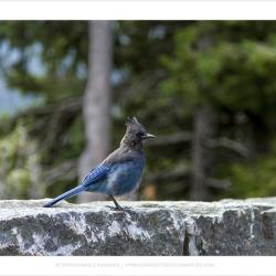 Stellar Jay, Mt Rainer National Park