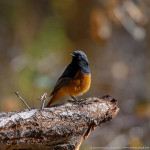Black Redstart, Nubra, Ladakh