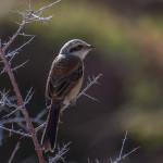 Grey Backed Shrike, Nubra, Ladakh