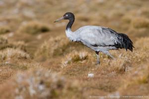 Black Necked Crane, Pangot, Ladakh