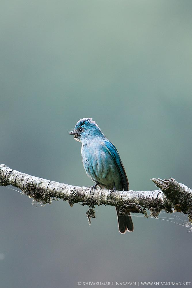 Verditer Flycatcher, Pangot, India
