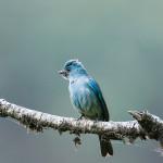 Verditer Flycatcher, Pangot