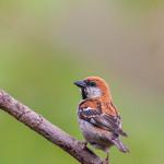 Ruesset Sparrow, Pangot