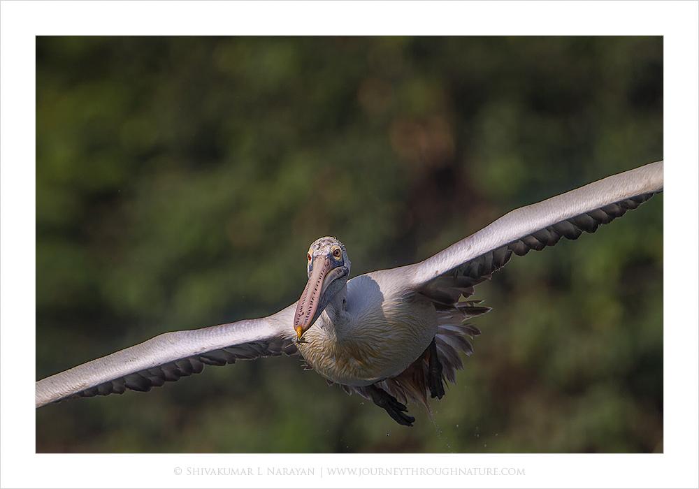 Pelican, Ranganthittu