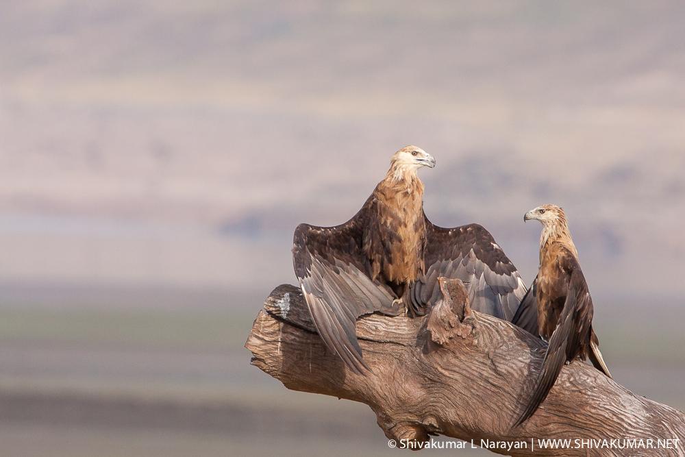 Pallas Fish Eagle at Corbett National Park