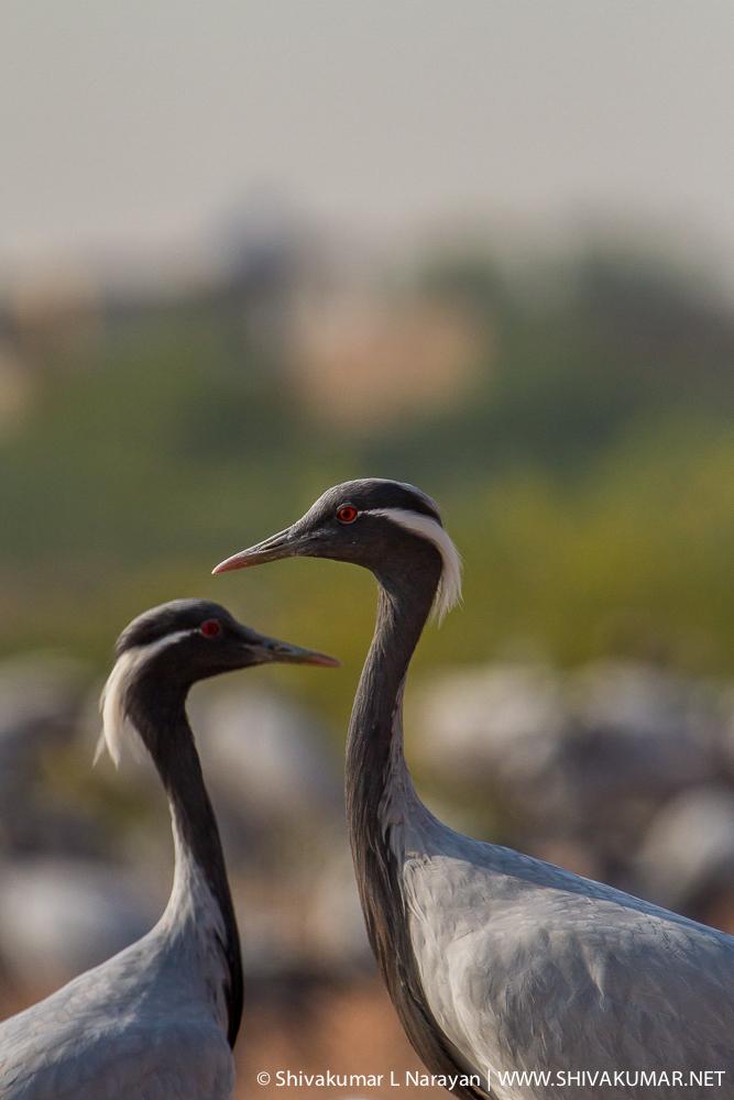 Demoiselle Crane from Keechan, Rajasthan