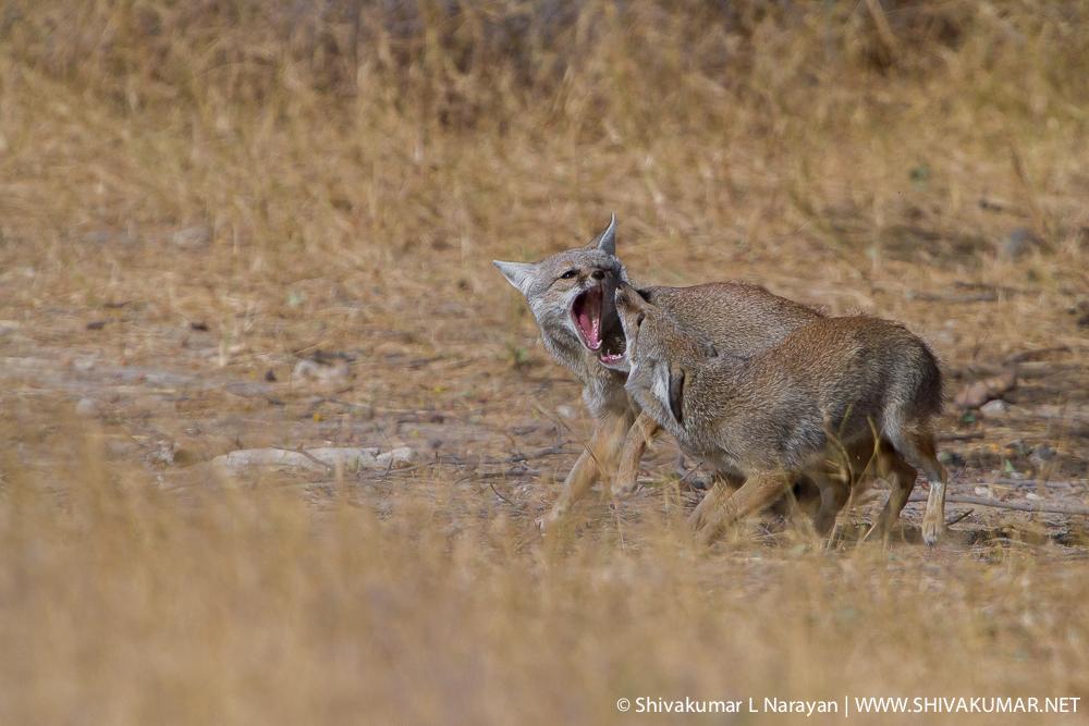 Indian Fox at Desert National Park