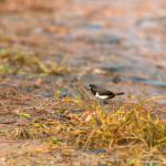 White Rumped Munia