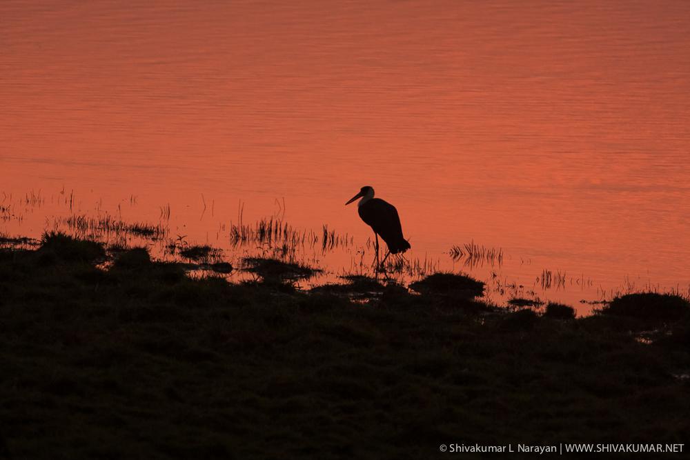 Wooly Necked Stork @ Sunset in Kaziranga, Assam