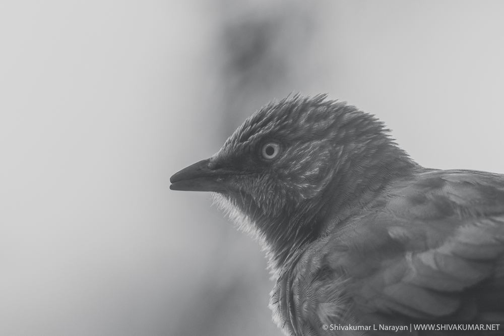 Jungle Babbler - Black & White