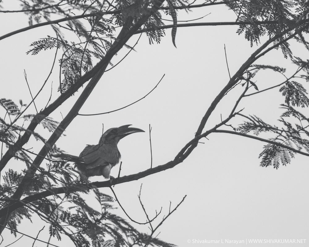 Indian Grey Hornbill - Black & White