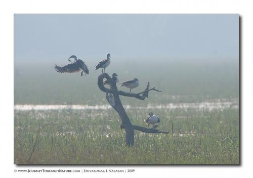 comb ducks bharatpur