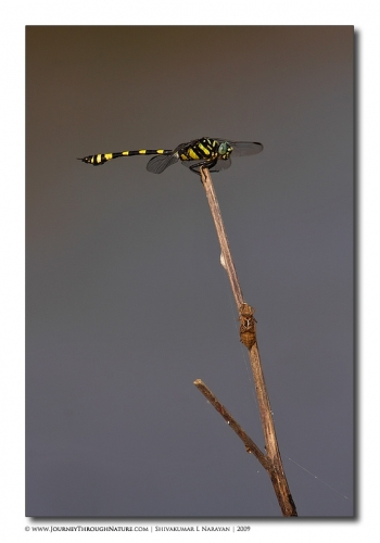dragonfly cricket