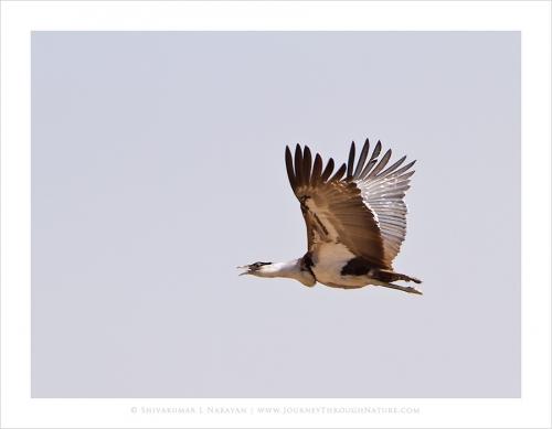 greatindianbustard flight dnp mg 8526