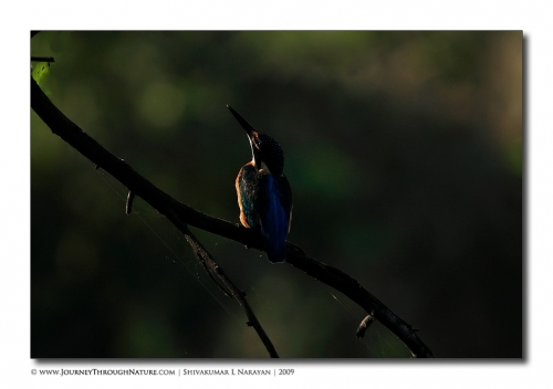 kingfisher abstract