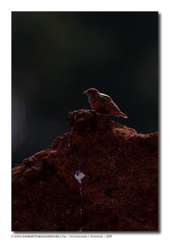lark backlit tghalli