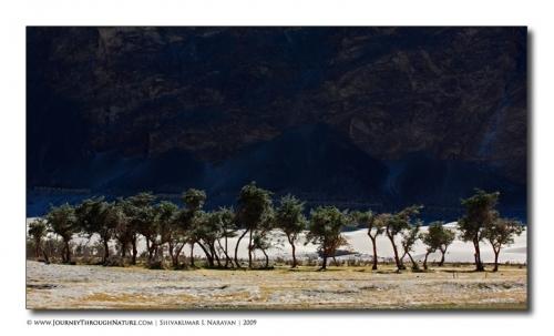 littletreesnubra landscape ladakh