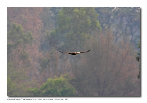 marsh harrier hebbal mg 0500