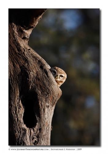 owl peep bharaptur