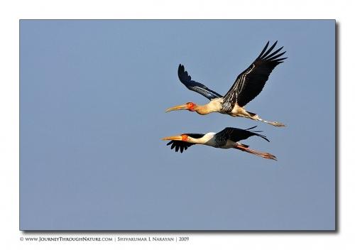 painted stork flight bharatpur