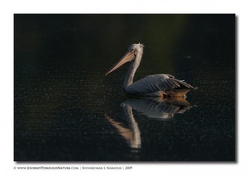 pelican hebbal 02