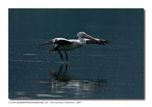 pelican hebbal 03