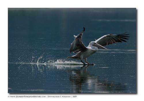 pelican hebbal 04