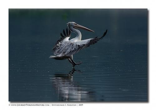 pelican hebbal 06