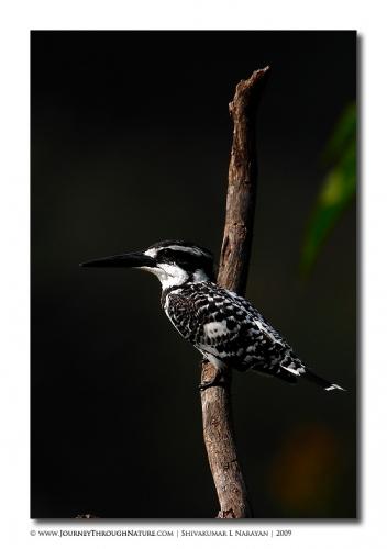 pied kingfisher bharatpur