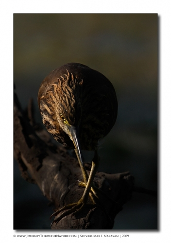 pond heron eye