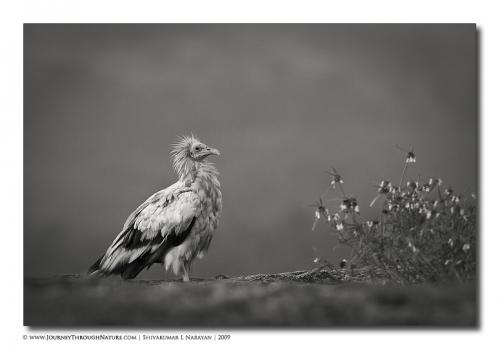 ramanagara egyptianvultures vultureflower 700