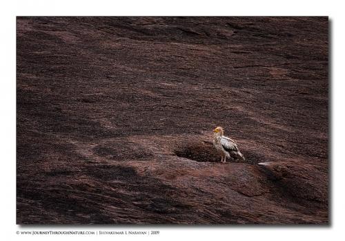 ramanagara egyptianvultures vulturescape