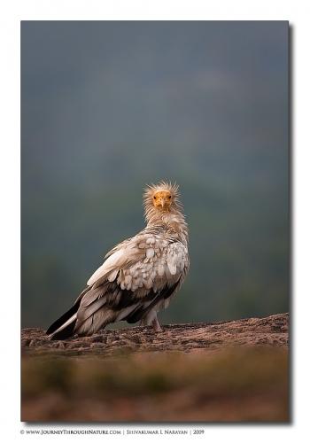ramanagara egyptianvultures vulturestare