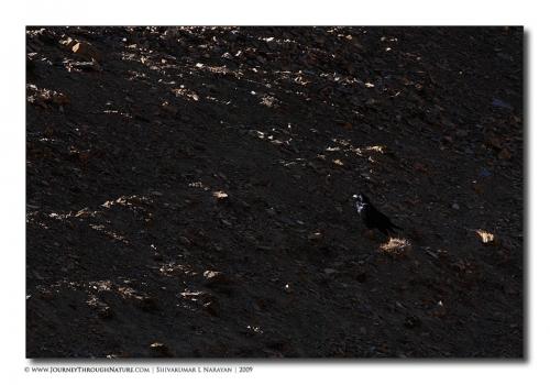 raven scape ladakh