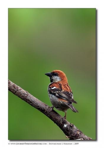 rusett sparrow pangot