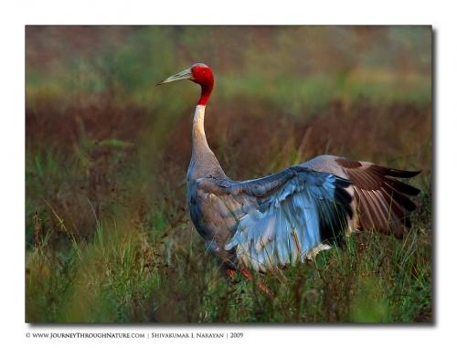 saruscrane bharatpur 09
