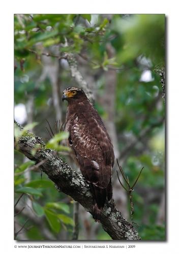 serpent eagle nagarhole
