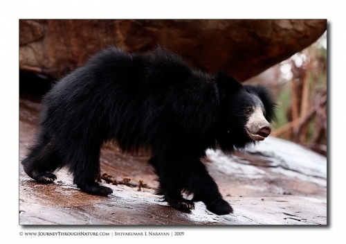 sloth bear walk
