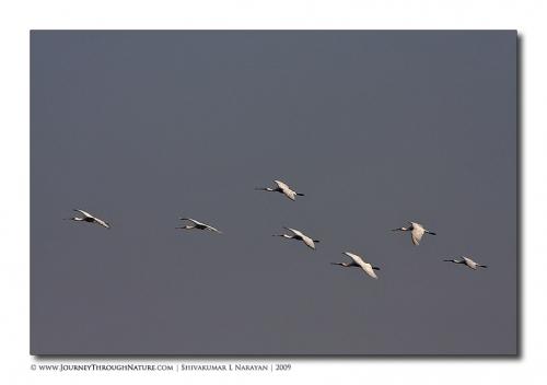 spoonbill flight bharatpur